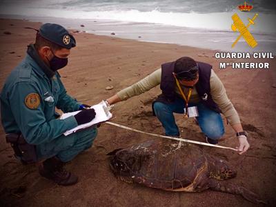 Noticia de Almería 24h: Recuperan otra Tortuga Boba, Caretta Caretta, en Cabo de Gata