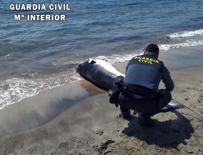 Noticia de Almería 24h: Recuperan el cadáver de un Rocual Aliblanco de 300 kilos y casi 4 metros de envergadura en Aguamarga  (Níjar)